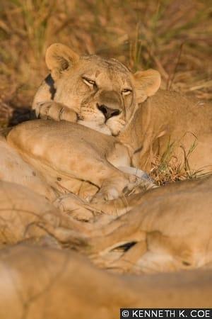 Lion Kwando by Kenneth K. Coe