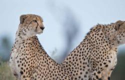 Squack Evans Eye of the Cheetah Safari