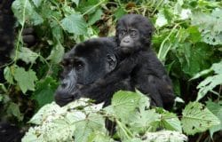 Gorilla tracking in Uganda. Bwindi Impenetrable National Park. Uganda Safari.
