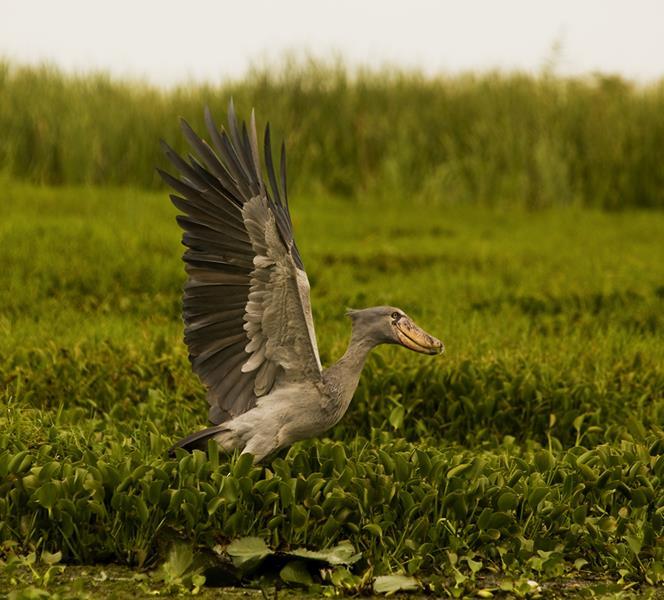 Shoebill, Uganda