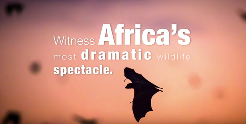 Zambia safari kasanka bat migration
