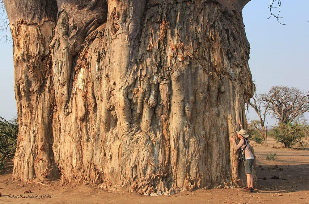 Baobabs in Gonarezhou National Park, Zimbabwe