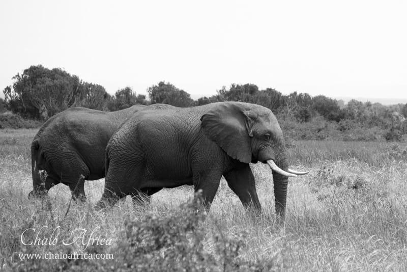 Elephant, Queen Elizabeth National Park