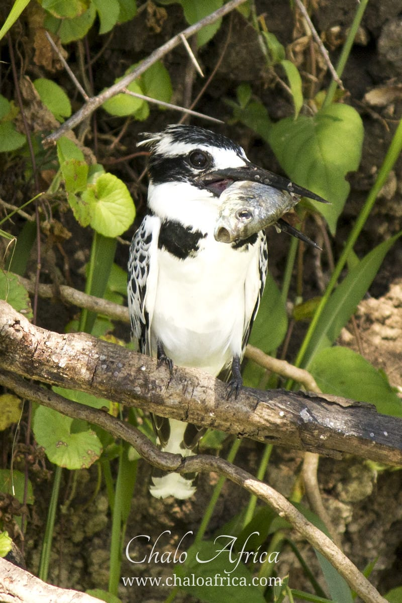 Female pied kingfisher with a catch.