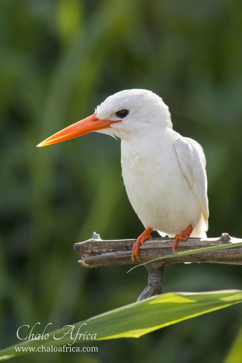 Leucistic Malachite Kingfisher