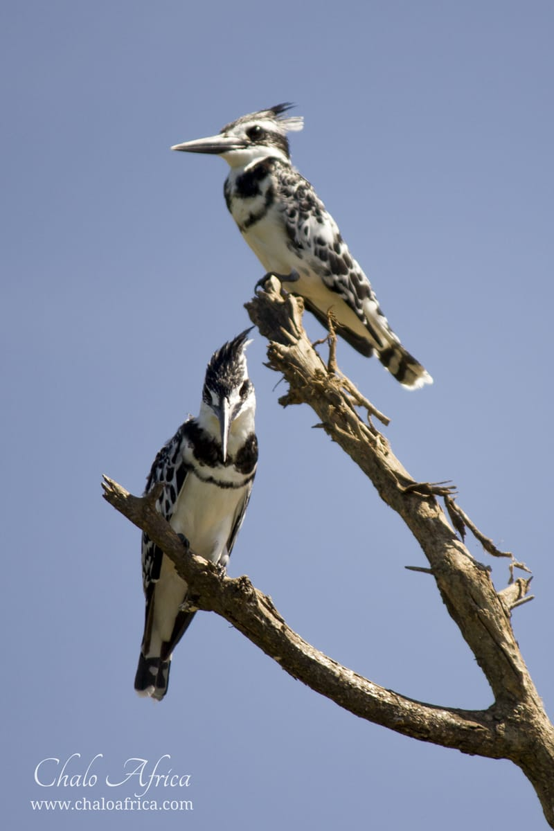pied kingfisher male
