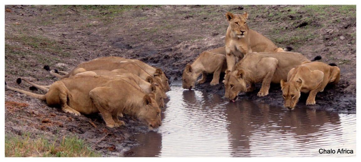 lions water hole botswana