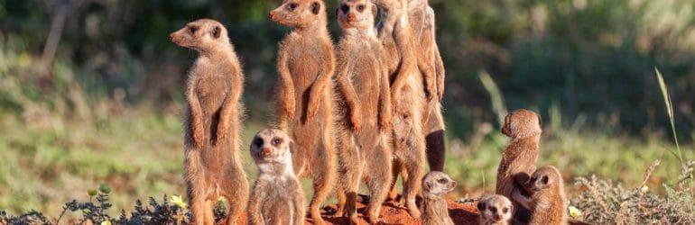 Meerkat burrow Tswalu