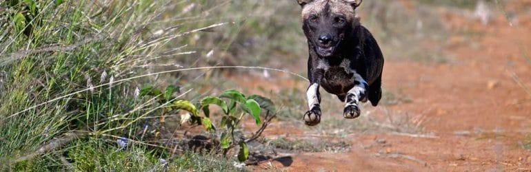 Sosian Lodge Wild Dogs, Offbeat safaris