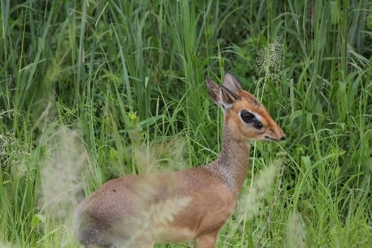 A beautiful dik dik