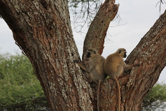 Monkeys in Tarangire