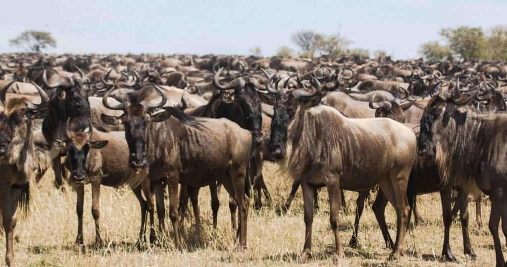 wildebeest migration in namiri plains
