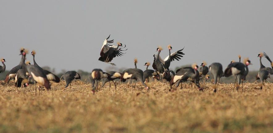 Zakouma Crowned Cranes