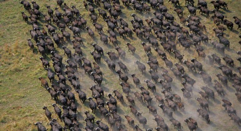 Selinda Camp Buffaloes