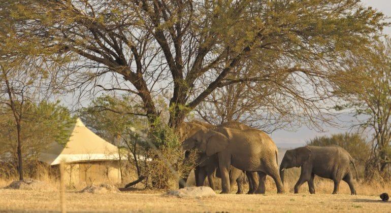 Sayari elephants in camp