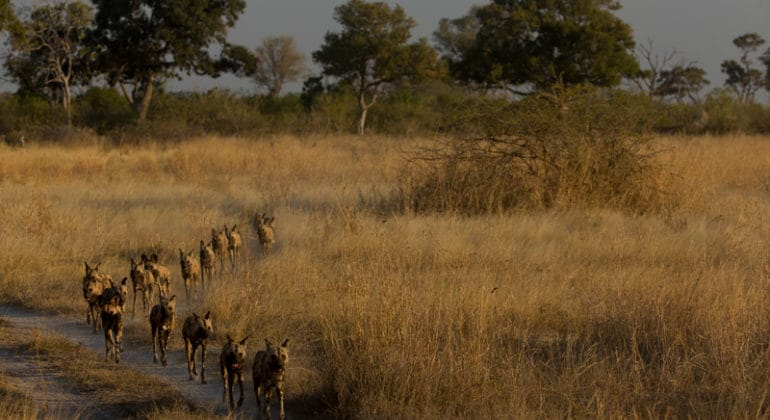 zarafa camp wild dogs