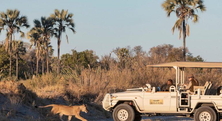 Xigera Safari Lion