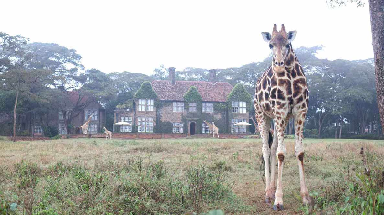 Giraffe Manor View With Giraffe