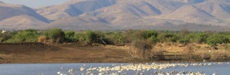 Manyara Tented Camp Pelicans