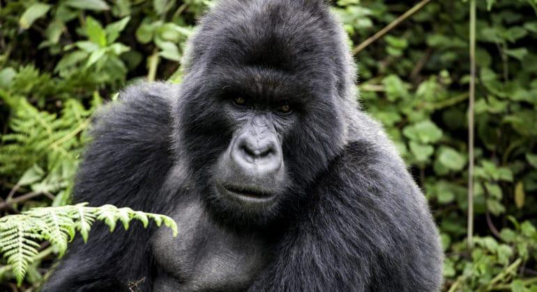 Singita Kwitonda Lodge Gorilla Tracking