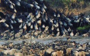 Masai Mara River Crossing Large