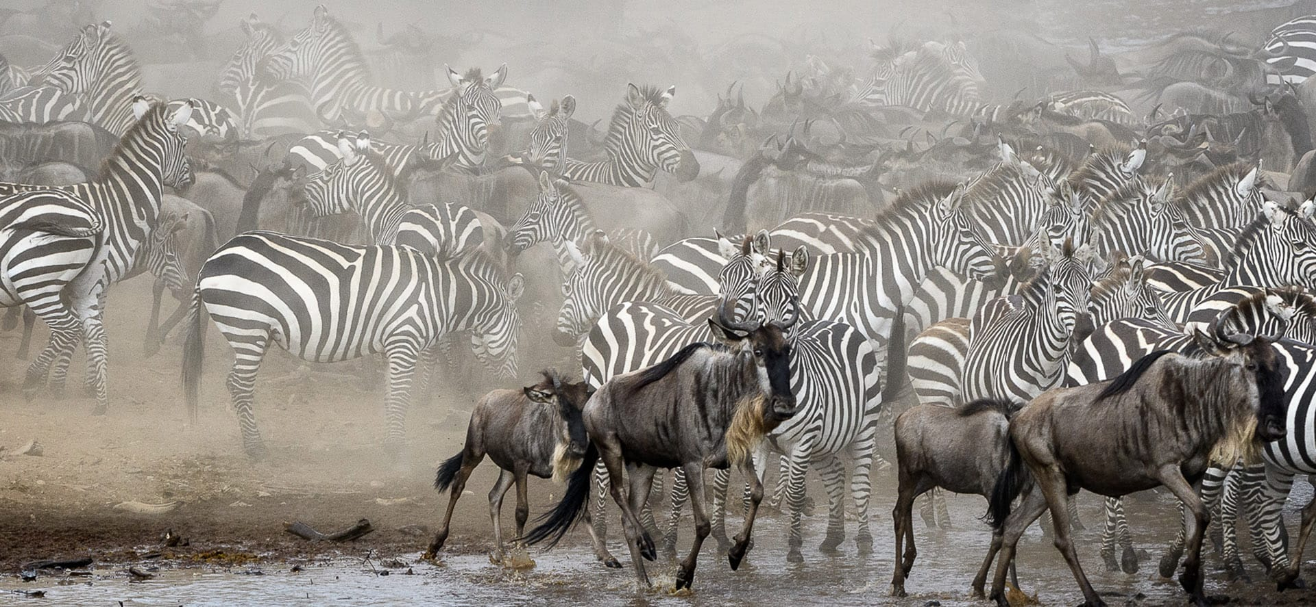 Wildebeest Mara Migration 2020