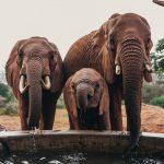 Sheldrick Elephant Orphans